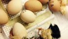 chickens-hatching